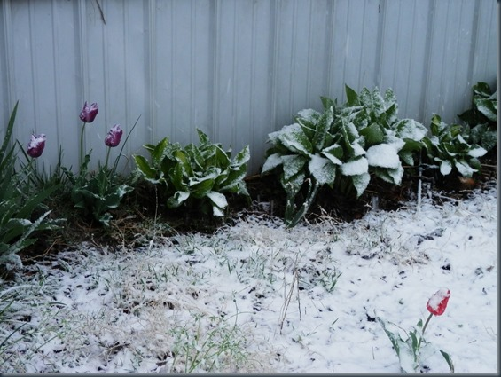snow on tulips